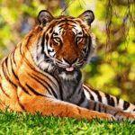 Тигр и Коза (Овца) - совместимость по году рождения, мужчина и женщина