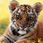 Тигр и Лошадь - совместимость по году рождения, мужчина и женщина