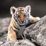 Тигр и Петух - совместимость по году рождения, мужчина и женщина