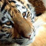 Тигр и Тигр - совместимость по году рождения, мужчина и женщина
