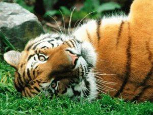 Бык и Тигр - совместимость по году рождения, мужчина и женщина
