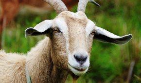 Миниатюра к статье Год Быка для Овцы (Козы) – китайский гороскоп на 2021 год