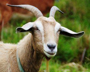 Год Быка для Овцы (Козы) – китайский гороскоп на 2021 год