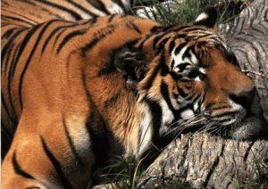 Стрелец тигр женшина секс