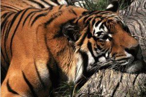 Крыса и Тигр - совместимость по году рождения, мужчина и женщина