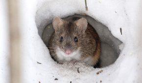 Миниатюра к статье Год Быка для Крысы (Мыши) – китайский гороскоп на 2021 год
