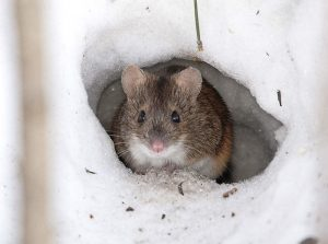 Год Быка для Крысы (Мыши) – китайский гороскоп