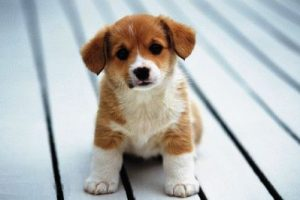 Собака и Свинья - совместимость по году рождения, мужчина и женщина