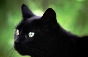 К чему снится черное, видеть во сне черного ворона, платье, собаку, кошку, котенка, цвет