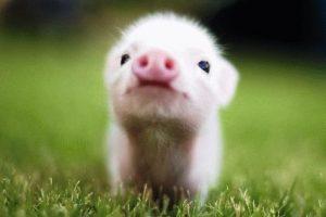 Свинья и Свинья - совместимость по году рождения, мужчина и женщина