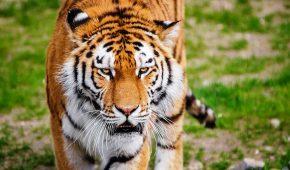 Миниатюра к статье Год Быка для Тигра – китайский гороскоп на 2021 год
