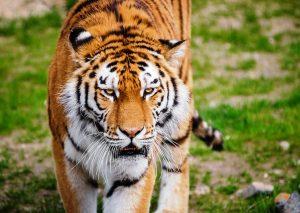 Год Быка для Тигра – китайский гороскоп на 2021 год