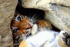 Тигр и Кролик (Кот) - совместимость по году рождения, мужчина и женщина