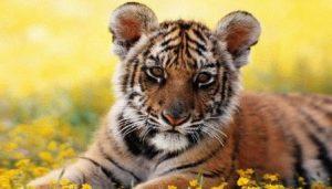 Мужчина-Тигр и женщина-Кот (Кролик) – совместимость в любви