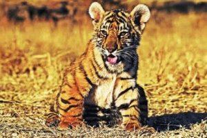 Тигр и Обезьяна - совместимость по году рождения, мужчина и женщина