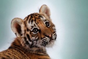 Тигр и Собака - совместимость по году рождения, мужчина и женщина
