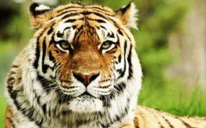 Тигр и Свинья - совместимость по году рождения, мужчина и женщина