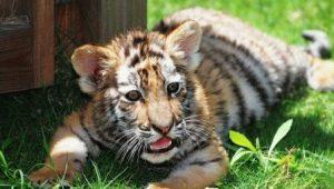 Тигр и Змея - совместимость по году рождения, мужчина и женщина